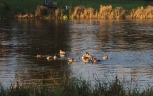 Ducks on Chena River at our RV Park