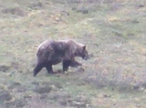 Grizzly Feeding on Blueberries