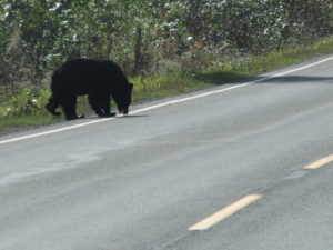 Black Bear on Cassiar-Yellowhead Junction
